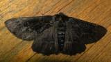 6763 E – Phaeoura quernaria – Oak Beauty Moth Melanic 6-7-2011 Athol Ma.JPG