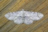 6588 E – Iridopsis larvaria – Bent-line Gray Moth 5-20-2011 Athol Ma.JPG