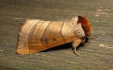 7904 – Datana drexelii – Drexels Datana Moth 6-7-2011Athol Ma.JPG