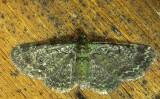 7625 E – Pasiphila rectangulata – Green Pug Moth 6-10-2011 Athol Ma.JPG