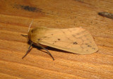 8129 – Pyrrharctia isabella – Isabella Tiger Moth  6-9-2011 Athol Ma.JPG