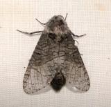 2694 – Prionoxystus macmurtrei – Little Carpenterworm Moth  6-9-2011 Athol Ma.JPG