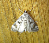 4759 – Parapoynx maculalis – Polymorphic Pondweed Moth 6-11-2011 Athol Ma.JPG