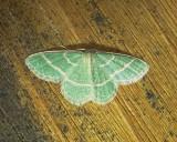 7071 E – Chlorochlamys chloroleucaria – Blackberry Looper Moth  6-11-2011 Athol Ma.JPG