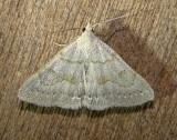 8355 – Chytolita morbidalis – Morbid Owlet Moth 6-11-2011 Athol Ma.JPG