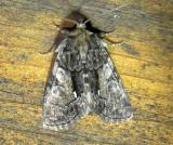 9556 – Chytonix palliatricula – Cloaked Marvel Moth 6-11-2011 Athol Ma.JPG