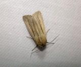 10445 – Leucania linda – Linda Wainscot Moth 6-6-2011 Athol Ma.JPG