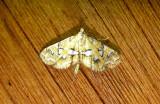 4748 – Elophila icciusalis – Pondside Pyralid Moth 6-21-2011 Athol Ma.JPG