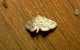 4748 – Elophila icciusalis – Pondside Pyralid Moth 6-21-2011 Athol Ma (1).JPG