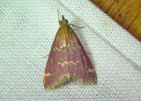5034 – Pyrausta signatalis – Raspberry Pyrausta June 25 2011 Athol Ma (2).JPG