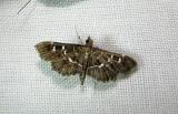 5175 – Diathrausta harlequinalis – Harlequin Webworm Moth June 21 2011 Athol Ma.JPG