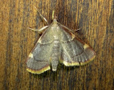5533 – Dolichomia olinalis – Yellow-fringed Dolichomia Moth June 21 2011 Athol Ma.JPG