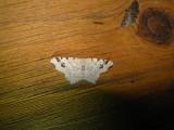 6326 B – Macaria aemulataria – Common Angle Moth June-21-2011 Athol Ma.JPG