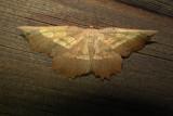 6724 E – Euchlaena serrata – Saw-wing Moth June 21 2011 Athol Ma.JPG
