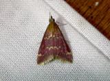 5034 – Pyrausta signatalis – Raspberry Pyrausta June 25 2011 Athol Ma (3).JPG