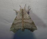7665 – Olceclostera angelica – Angel Moth June 21 2011 Athol Ma.JPG