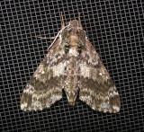 7784 – Dolba hyloeus – Pawpaw Sphinx Moth June-21-2011 Ahol Ma.JPG