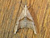 8397 – Palthis angulalis – Dark-spotted Palthis Moth June 21 2011 Athol Ma.JPG