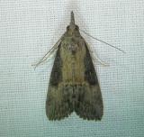 8465 – Hypena scabra – Green Cloverworm Moth June 21 2011 Athol Ma.JPG