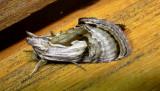 8904 – Chrysanympha formosa – Formosa Looper 6-26-2011 Athol Ma.JPG