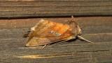 8950 – Plusia putnami – Putnam's Looper Moth June 22 2011 Athol Ma (3).JPG