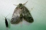 8971 – Baileya dormitans – Sleeping Baileya 6-26-2011 Athol Ma (1).JPG