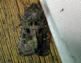 10397 – Lacinipolia renigera – Bristly Cutworm Moth June 20 2011 Athol Ma.JPG