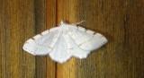 6273, Itame pustularia, lesser maple spanworm June 25 2011 Athol Ma (21).JPG