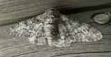 6640 B – Biston betularia – Peppered Moth June 25 2011 Athol Ma.JPG