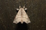 7665 – Olceclostera angelica – Angel 6-26-2011 Athol Ma.JPG