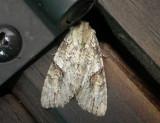 10291 – Morrisonia latex – Fluid Arches Moth june 26 2011 Athol ma.JPG