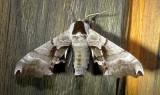 7821 – Smerinthus jamaicensis – Twin-spotted Sphinx Moth July 18 2011 (1).JPG