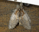 7919 – Peridea basitriens – Oval-Based Prominent July 13 2011 Athol Ma  (2) .JPG