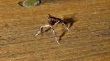 5552 – Galasa nigrinodis – Boxwood Leaftier July 12 2011 Athol Ma (23).JPG