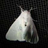 8134 – Spilosoma congrua – Agreeable Tiger Moth June 28 2011 Athol Ma (5).JPG