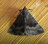 8447 – Hypena madefactalis – Gray-edged Bomolocha Moth 6-8-2011Athol Ma.JPG