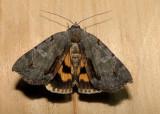 8864– Catocala grynea– Woody Underwing Moth  July 24 2011 Athol Ma  (6).JPG