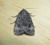 9638 – Amphipyra pyramidoides – Copper Underwing - July 26 2011 Athol Ma (6).JPG