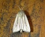 10446– Leucania multilinea– Many-lined Wainscot July 21 2011 Athol Ma.JPG