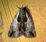 8857– Catocala ultronia– Ultronia Underwing July 28 2011Athol Ma (1).JPG