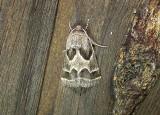 11135– Schinia rivulosa– Ragweed Flower Moth July 28 2011 Athol Ma  (3).JPG