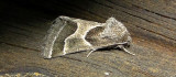 11135– Schinia rivulosa– Ragweed Flower Moth July 28 2011 Athol Ma  (4).JPG