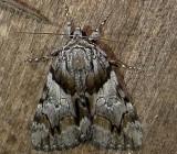 8867– Catocala blandula– Charming Underwing - July 21 2011 Athol Ma (1).JPG
