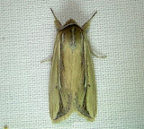 10434– Dargida rubripennis– Pink Streak Moth  July 30 2011 Athol Ma (28).JPG