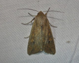10438– Mythimna unipuncta– Armyworm Moth  July 29 2011 Athol Ma (6).JPG