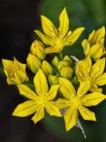 Alliums (garlics)