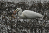 Great White Egret with catch