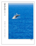 hawaiian humpback