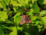 KarminspinnareCinnabar mothTyria jacobaeae