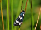 Fläckig glansspinnare Scarlet TigerCallimorpha dominula